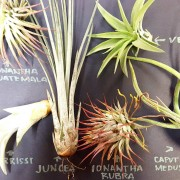 airplant pack50369_20160826_181944