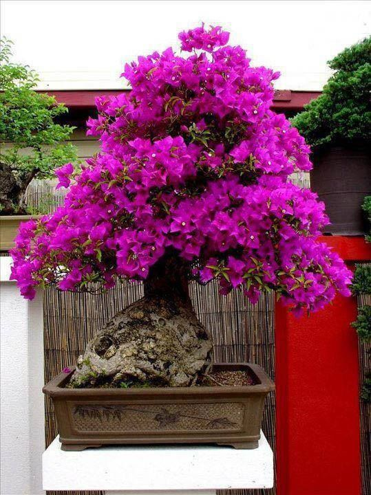 Bougainvillea Bonsai Faq In Cold States. Saddleback Community College. Probability Of Paternity Nyc Defense Attorney. Reserve Telephone Company West Jordan Dental. Mortgage Life Insurance Company. Pennsylvania Detox Centers Low Cost Insurance. West Virginia University Athletics. Personal Injury Attorney Broward County. Natural Teeth Whitening Tips